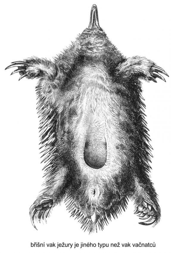 vak ježury
