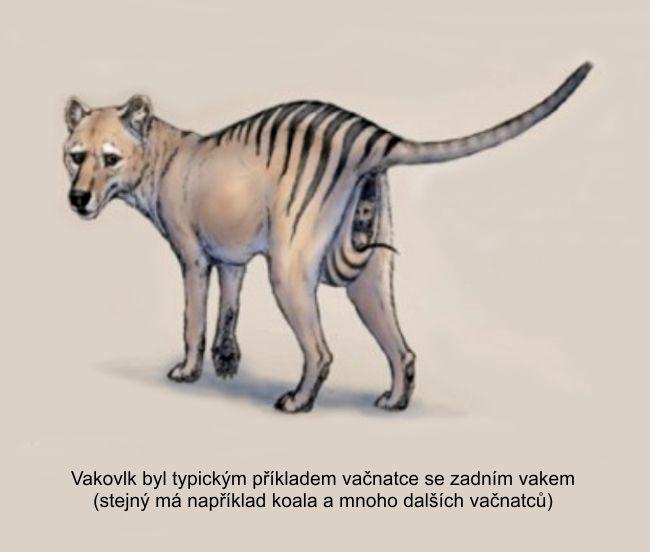 vakovlk je typický příklad vačnatce se zadním vakem