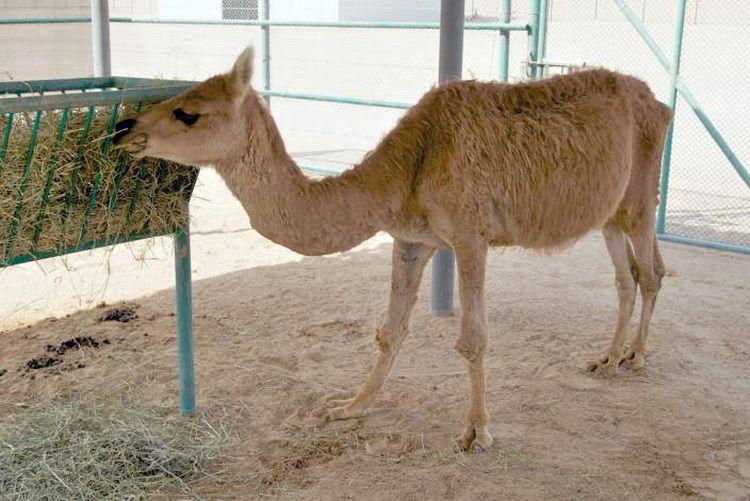 cama (kříženec velblouda a lamy)