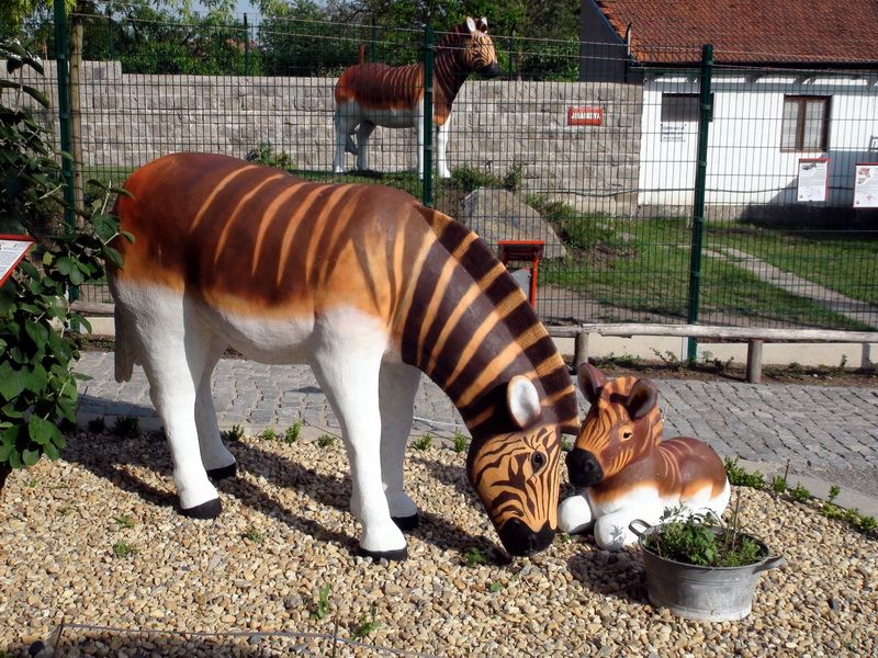 zebra kvaga