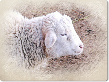 Ovce domácí | ZOO Chleby